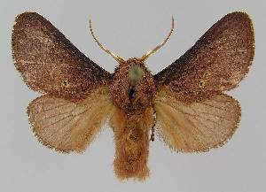 (Doratifera quadriguttata - BC EF Lep 01475)  @14 [ ] Copyright (2010) Egbert Friedrich Research Collection of Egbert Friedrich