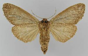 (Hylaeora sp. 1 - BC EF Lep 01579)  @11 [ ] Copyright (2010) Egbert Friedrich Research Collection of Egbert Friedrich