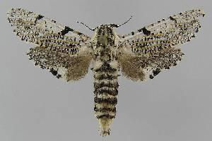 (Endoxyla sp. 5 - BC EF Lep 01635)  @14 [ ] Copyright (2010) Egbert Friedrich Research Collection of Egbert Friedrich