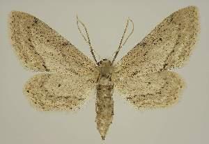 (Idaea abnorma - BC EF Lep 01828)  @14 [ ] Copyright (2010) Egbert Friedrich Research Collection of Egbert Friedrich