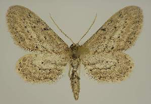 (Idaea abnorma - BC EF Lep 01829)  @14 [ ] Copyright (2010) Egbert Friedrich Research Collection of Egbert Friedrich
