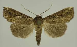 (Eustrotia acroleuca - BC EF Lep 02651)  @14 [ ] Copyright (2010) Egbert Friedrich Research Collection of Egbert Friedrich