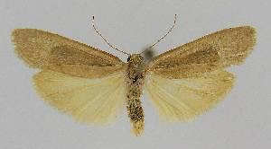 (Scoliacma nana - BC EF Alc 00962)  @14 [ ] Copyright (2010) Egbert Friedrich Research Collection of Egbert Friedrich