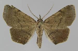 (Heterormista psammochroa - BC EF Alc 01123)  @14 [ ] Copyright (2010) Egbert Friedrich Research Collection of Egbert Friedrich