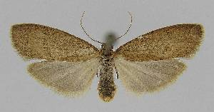 (Lambula obliquilinea - BC EF Alc 01133)  @14 [ ] Copyright (2010) Egbert Friedrich Research Collection of Egbert Friedrich