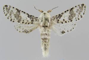 (Endoxyla eumitra - BC EF Alc 01150)  @15 [ ] Copyright (2010) Egbert Friedrich Research Collection of Egbert Friedrich
