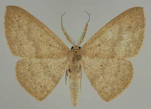 (Cyclophora EF03 - BC EF Lep 02301)  @14 [ ] Copyright (2010) Egbert Friedrich Research Collection of Egbert Friedrich