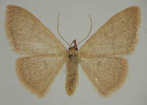 (Idaea uniformisEF01 - BC EF Lep 02316)  @14 [ ] Copyright (2010) Egbert Friedrich Research Collection of Egbert Friedrich