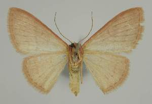 (Idaea uniformis - BC EF Lep 02317)  @14 [ ] Copyright (2010) Egbert Friedrich Research Collection of Egbert Friedrich