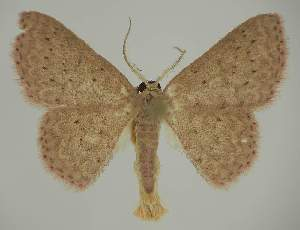(Idaea crinipesEF01 - BC EF Lep 02322)  @14 [ ] Copyright (2010) Egbert Friedrich Research Collection of Egbert Friedrich