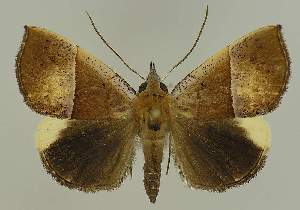 (Hypena gypsospila - BC EF Lep 02495)  @14 [ ] Copyright (2010) Egbert Friedrich Research Collection of Egbert Friedrich