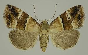 (Maliattha amorpha PS2 - BC EF Lep 02953)  @14 [ ] Copyright (2010) Egbert Friedrich Research Collection of Egbert Friedrich