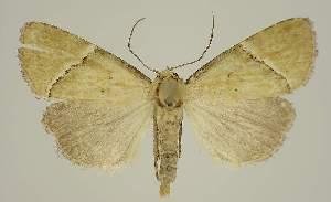 (Eustrotia papuensis - BC EF Lep 02959)  @14 [ ] Copyright (2010) Egbert Friedrich Research Collection of Egbert Friedrich