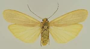 (Brunia angustifascia - BC EF Lep 03176)  @13 [ ] Copyright (2010) Egbert Friedrich Research Collection of Egbert Friedrich