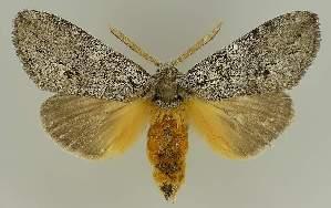 (Pheraspis mesotypa - BC EF Lep 03388)  @15 [ ] Copyright (2010) Egbert Friedrich Research Collection of Egbert Friedrich