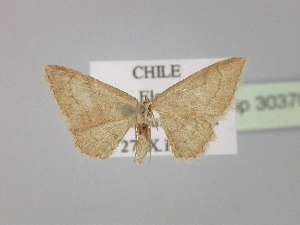 (Cyclophora AH01Cl - BC ZSM Lep 30370)  @13 [ ] CreativeCommons - Attribution Non-Commercial Share-Alike (2010) Axel Hausmann SNSB, Zoologische Staatssammlung Muenchen