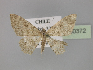 (Cyclophora AH02Cl - BC ZSM Lep 30372)  @11 [ ] CreativeCommons - Attribution Non-Commercial Share-Alike (2010) Axel Hausmann SNSB, Zoologische Staatssammlung Muenchen