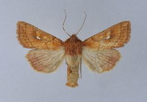 (Mythimna conigera - BC ZSM Lep 31687)  @15 [ ] Copyright (2010) Axel Hausmann/Bavarian State Collection of Zoology (ZSM) SNSB, Zoologische Staatssammlung Muenchen