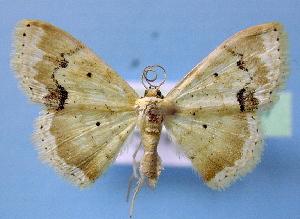(Scopula flavinsolata - BC ZSM Lep 34857)  @14 [ ] Copyright (2010) Axel Hausmann/Bavarian State Collection of Zoology (ZSM) SNSB, Zoologische Staatssammlung Muenchen