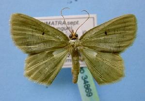 (Aplochlora - BC ZSM Lep 34869)  @15 [ ] Copyright (2010) Axel Hausmann/Bavarian State Collection of Zoology (ZSM) SNSB, Zoologische Staatssammlung Muenchen