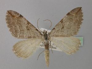 (Aplocera plagiata hausmanni - BC ZSM Lep 35634)  @11 [ ] Copyright (2010) Axel Hausmann/Bavarian State Collection of Zoology (ZSM) SNSB, Zoologische Staatssammlung Muenchen