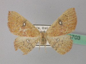 (Cyclophora ariadne - BC ZSM Lep 36703)  @14 [ ] CreativeCommons - Attribution Non-Commercial Share-Alike (2010) Axel Hausmann SNSB, Zoologische Staatssammlung Muenchen
