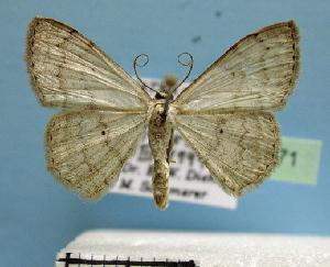 (Scopula spissitarsata - BC ZSM Lep 36771)  @13 [ ] Copyright (2010) Axel Hausmann/Bavarian State Collection of Zoology (ZSM) SNSB, Zoologische Staatssammlung Muenchen