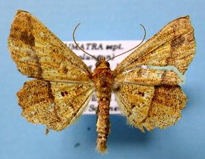 (Entomopteryx - BC ZSM Lep 36774)  @14 [ ] Copyright (2010) Axel Hausmann/Bavarian State Collection of Zoology (ZSM) SNSB, Zoologische Staatssammlung Muenchen