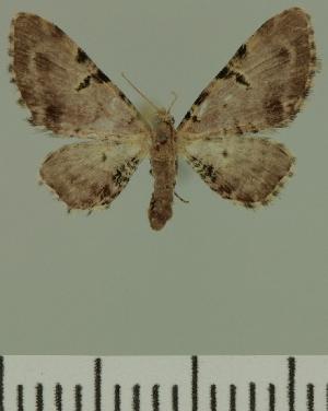 ( - JLC ZW Lep 00443)  @13 [ ] Copyright (2010) Juergen Lenz Research Collection of Juergen Lenz
