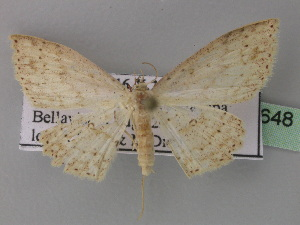 (Cyclophora AH01Ec - BC ZSM Lep 32648)  @14 [ ] CreativeCommons - Attribution Non-Commercial Share-Alike (2010) Axel Hausmann SNSB, Zoologische Staatssammlung Muenchen