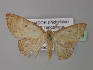 (Cyclophora AH02Ec - BC ZSM Lep 32668)  @11 [ ] CreativeCommons - Attribution Non-Commercial Share-Alike (2010) Axel Hausmann SNSB, Zoologische Staatssammlung Muenchen