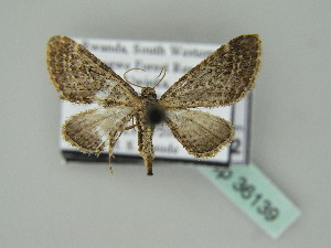 (Eupithecia rigida sporadica - BC ZSM Lep 36139)  @13 [ ] CreativeCommons - Attribution Non-Commercial Share-Alike (2010) Axel Hausmann SNSB, Zoologische Staatssammlung Muenchen