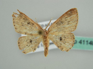 (Cyclophora AH01Md - BC ZSM Lep 41140)  @13 [ ] CreativeCommons - Attribution Non-Commercial Share-Alike (2010) Axel Hausmann SNSB, Zoologische Staatssammlung Muenchen