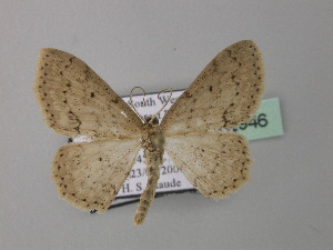 (Scopula calcarata - BC ZSM Lep 42946)  @13 [ ] CreativeCommons - Attribution Non-Commercial Share-Alike (2010) Axel Hausmann SNSB, Zoologische Staatssammlung Muenchen