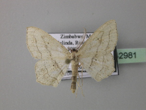 (Scopula tenuiscripta - BC ZSM Lep 42981)  @13 [ ] CreativeCommons - Attribution Non-Commercial Share-Alike (2010) Axel Hausmann SNSB, Zoologische Staatssammlung Muenchen