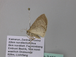 (Scopula AH07GhCa - BC ZSM Lep 34274)  @12 [ ] CreativeCommons - Attribution Non-Commercial Share-Alike (2010) Axel Hausmann SNSB, Zoologische Staatssammlung Muenchen