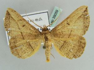 (Entomogramma - BC ZSM Lep 39059)  @15 [ ] CreativeCommons - Attribution Non-Commercial Share-Alike (2010) Axel Hausmann SNSB, Zoologische Staatssammlung Muenchen