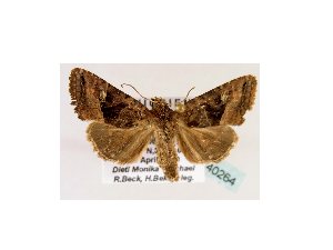 (Tracheplexia GB01Et - BC ZSM Lep 40264)  @13 [ ] CreativeCommons - Attribution Non-Commercial Share-Alike (2010) Axel Hausmann SNSB, Zoologische Staatssammlung Muenchen