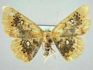 (Cyclophora albiocellaria - RCIM 0084)  @14 [ ] Copyright (2010) Iva Mihoci Croatian Natural History Museum