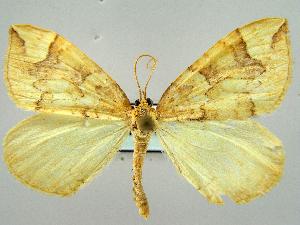 (Eulithis populata - RCIM 0109)  @14 [ ] Copyright (2010) Iva Mihoci Croatian Natural History Museum