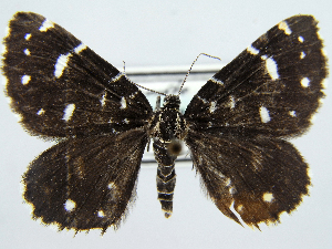 (Pseudobaptria - RCIM 0130)  @11 [ ] Copyright (2010) Iva Mihoci Croatian Natural History Museum