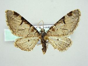 (Eupithecia insigniata - RCIM 0137)  @14 [ ] Copyright (2010) Iva Mihoci Croatian Natural History Museum