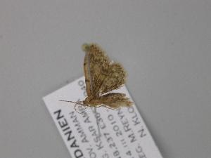 (Idaea holliata - BC ZSM Lep 47161)  @13 [ ] CreativeCommons - Attribution Non-Commercial Share-Alike (2010) Axel Hausmann SNSB, Zoologische Staatssammlung Muenchen