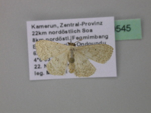 (Scopula AH21CaGh - BC ZSM Lep 39545)  @12 [ ] CreativeCommons - Attribution Non-Commercial Share-Alike (2011) Axel Hausmann SNSB, Zoologische Staatssammlung Muenchen