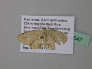 (Scopula AH23CaGh - BC ZSM Lep 39547)  @12 [ ] CreativeCommons - Attribution Non-Commercial Share-Alike (2011) Axel Hausmann SNSB, Zoologische Staatssammlung Muenchen