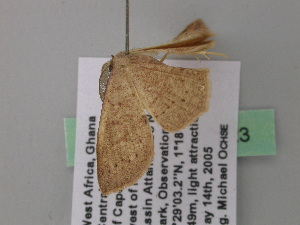 (Cyclophora sublunataAH02GhCa - BC ZSM Lep 39623)  @12 [ ] CreativeCommons - Attribution Non-Commercial Share-Alike (2011) Axel Hausmann SNSB, Zoologische Staatssammlung Muenchen