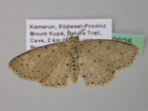 (Cyclophora sublunataAH03GhCa - BC ZSM Lep 39625)  @13 [ ] CreativeCommons - Attribution Non-Commercial Share-Alike (2011) Axel Hausmann SNSB, Zoologische Staatssammlung Muenchen