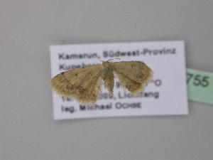 (Idaea pulverariaAH02GhCa - BC ZSM Lep 40755)  @13 [ ] CreativeCommons - Attribution Non-Commercial Share-Alike (2011) Axel Hausmann SNSB, Zoologische Staatssammlung Muenchen