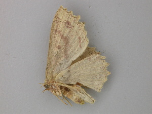 (Cyclophora melitia - BC ZSM Lep 49130)  @12 [ ] CreativeCommons - Attribution Non-Commercial Share-Alike (2011) Axel Hausmann SNSB, Zoologische Staatssammlung Muenchen