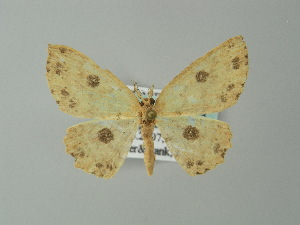 (Cyclophora caecariaAH01Br - BC ZSM Lep 49163)  @12 [ ] CreativeCommons - Attribution Non-Commercial Share-Alike (2012) Axel Hausmann SNSB, Zoologische Staatssammlung Muenchen